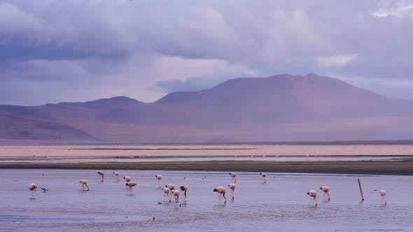 Thumbnail for Flamingos on Red Lake in Bolivia