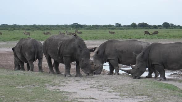 Thumbnail for Herd of rhinos around a waterhole