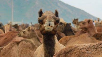 Camels at the Pushkar Fair, Also Called the Pushkar Camel Fair or Locally As Kartik Mela