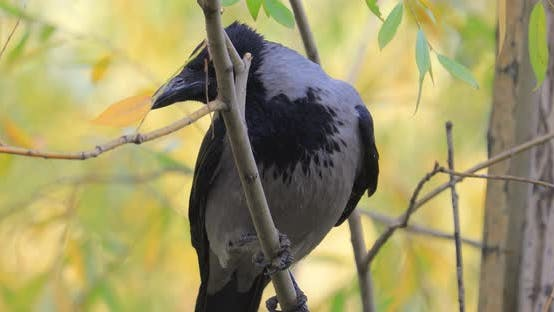 Thumbnail for Carrion Crow (Corvus Corone) Black Bird on Branch.