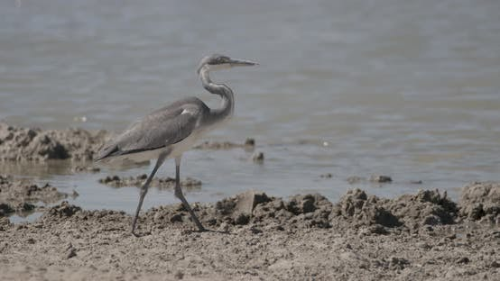 Heron Walking by the Waterhole