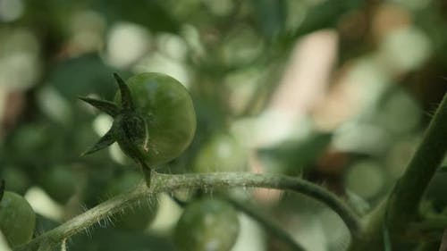 Close-up of homegrown  tomato on the plant 4K 2160p 30fps UltraHD footage - Solanum lycopersicum edi