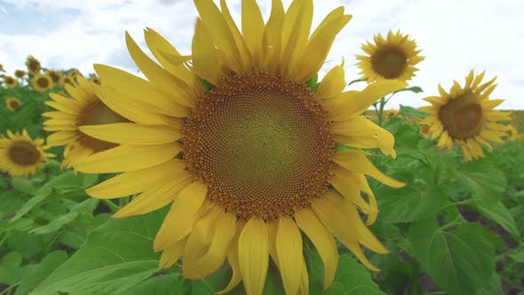 Thumbnail for Sunflower Against the Sky. Sunflower Swaying in the Wind. Close-up. Beautiful Fields with Sunflowers