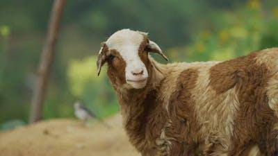 A ruminating sheep