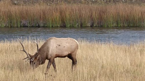 Bull Elk walking through grassy field in Yellowstone