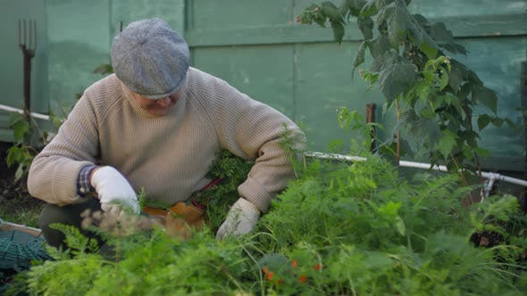 Thumbnail for Mature Man Tending to Green Plants at Vegetable Patch