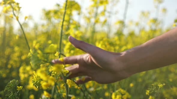 Thumbnail for Man`s Palm Moving and Touching the Beautiful Flowers of Rapeseed