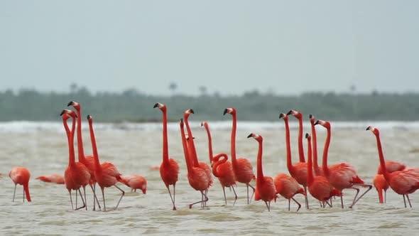 Thumbnail for rosa Flamingo Mexiko Tiervögel