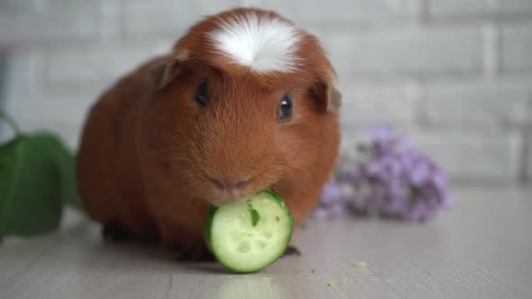 The Red Domestic Guinea Pig (Cavia Porcellus), Also Known As Cavy or Domestic Cavy