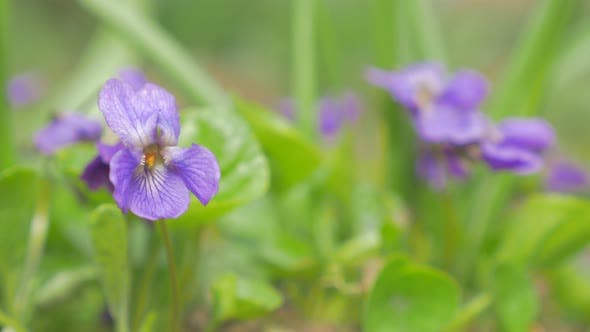 Thumbnail for Beautiful European common violet flower buds also known as Viola Odorata in the garden 4K 2160p UHD