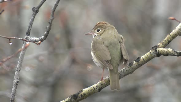 Thumbnail for Ovenbird Male Adult Lone Calling Singing Song in Spring in South Dakota