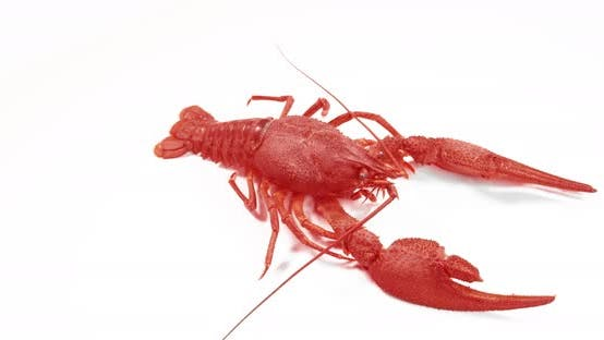 Thumbnail for Red Crayfish Walking on White Background.