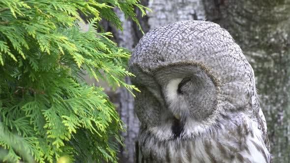 Athene owl