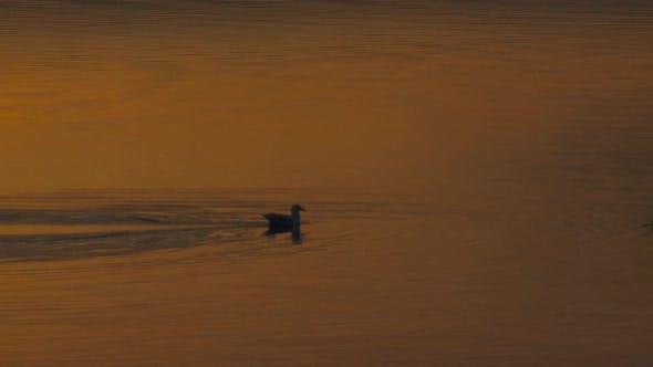 Thumbnail for Gull Lone in Autumn Dawn Morning Orange Light Water in Alaska