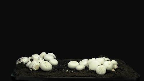 Time-lapse of growing champignon mushroom