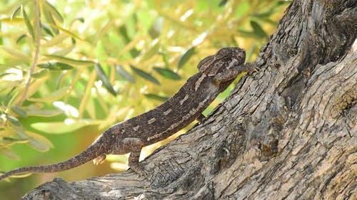 Common Chameleon or Mediterranean Chameleon