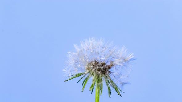 Dandelion Seed Blossom Timelapse on Blue
