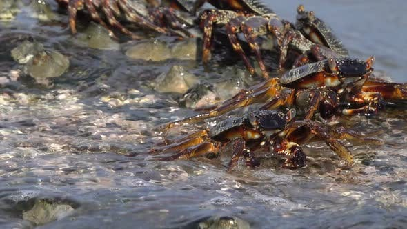 Thumbnail for Crabs Sit on Coastal Stones, Between Sea Waves