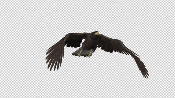 Eurasian White-tailed Eagle - Flying Transition V