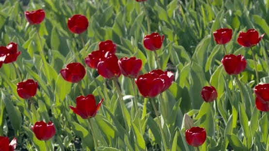 Thumbnail for In the spring, in a meadow, on a sunny day, red tulips bloomed.