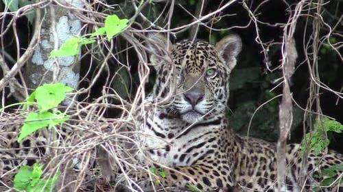 Jaguar Male Adult Immature Sitting Looking Around in Brazil