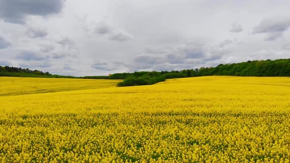 Aerial Drone Shot Drone Flying Above Blooming Rapeseed Field