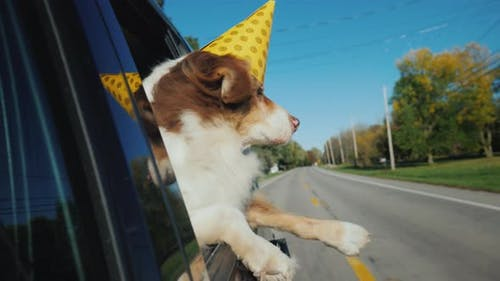 The Dog in a Festive Paper Cap Looks Out of the Window of the Car