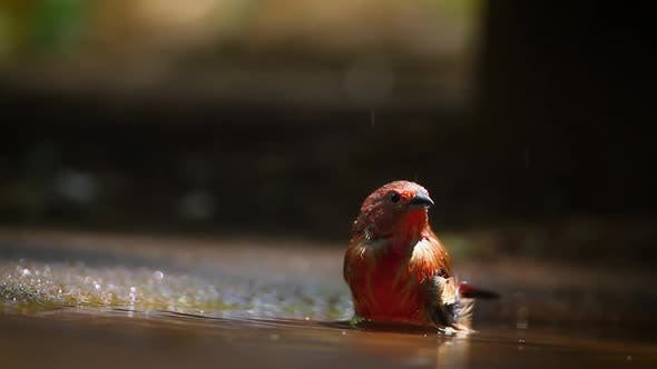 Thumbnail for Jameson Firefinch in Mapungubwe National park, South Africa