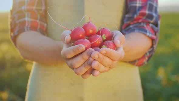 Cover Image for The Farmer Is Holding a Handful of Radish. Fresh Organic Vegetables From the Farm