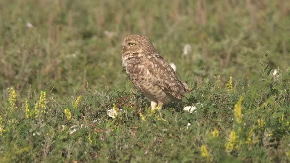 Thumbnail for Burrowing Owl Adult Lone Standing Flying Taking Off in Summer in South Dakota