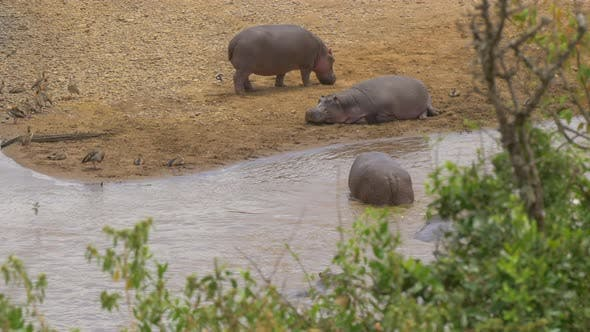 Thumbnail for Hippo in water and two hippos resting on river bank