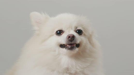 Thumbnail for White Pomeranian Dog Bark