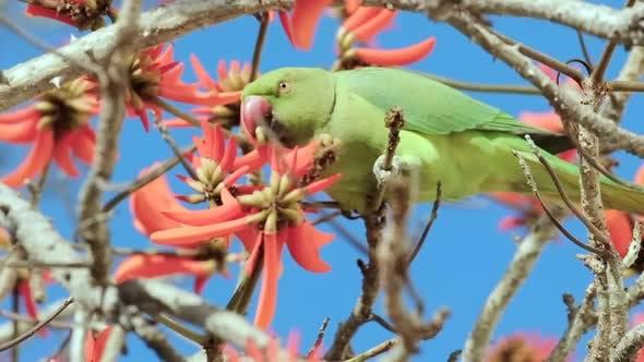 Un perroquet vert boit le nectar de fleurs rouges