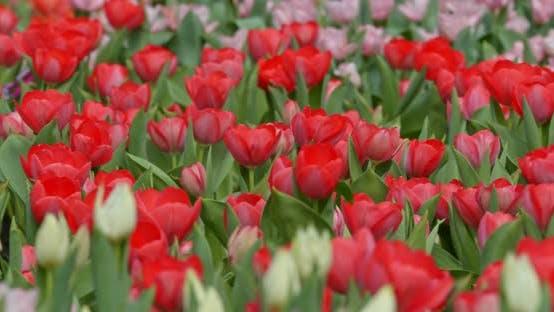 Thumbnail for Tulip flower garden