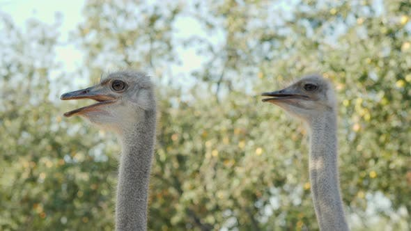 Thumbnail for Couple of a Funny Young Ostrich