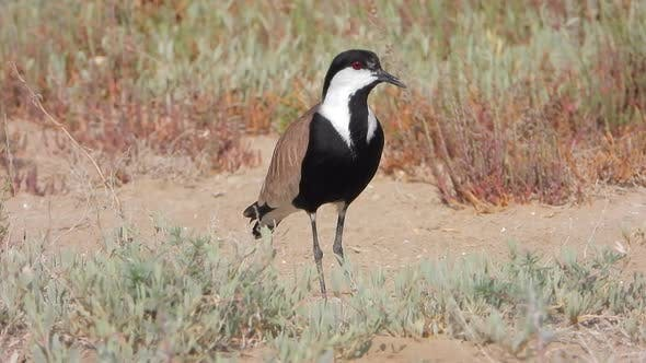 A Lonely Lapwing in The Arid Land