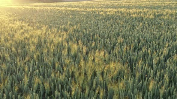 Thumbnail for Golden tones of wheat ears before sunset 4K drone video
