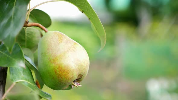 Thumbnail for Ripe Pear Growing at the Orchard