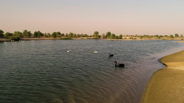 Thumbnail for Aerial view of swans swimming on small lake, U.A.E.