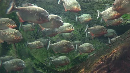 Piranha Fish in a Lake