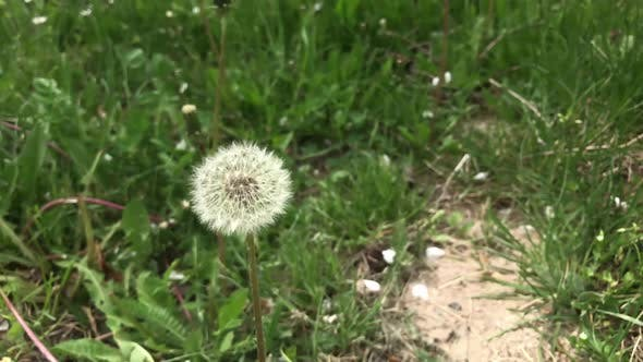 Thumbnail for Florets of blowball on the plant head slow-mo 1920X1080 HD footage - Slow motion dandelion flower on