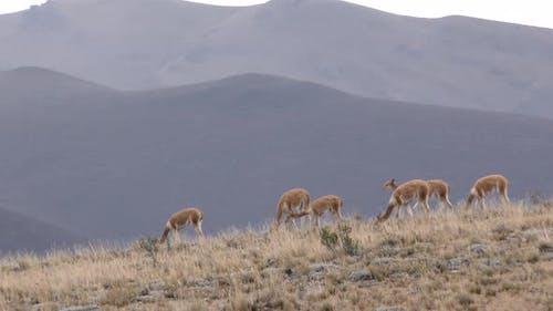 Vicuna Herd Walking Moving Feeding on Hilltop Ridgeline Skyline Slope Mountains