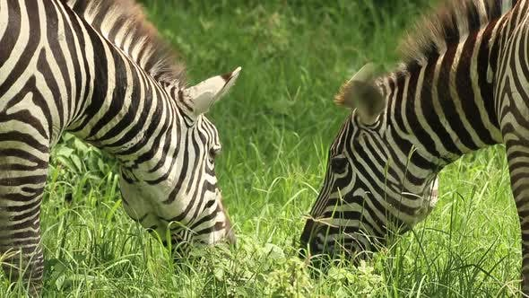 Thumbnail for Zebra Grazing on Grassland