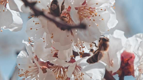 Thumbnail for A Bee Flying Around the Almond Blossom