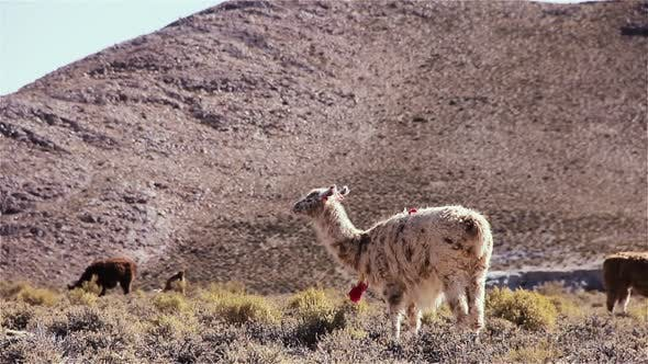 Thumbnail for Llamas grazing in the Andes Mountains, South America.