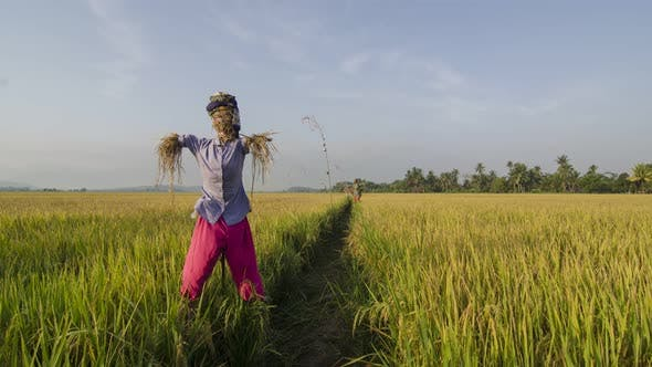 Scarecrow with Malays clothes in paddy field with dramatic cloudy sky