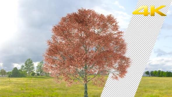 Thumbnail for Red Oak Tree 4K