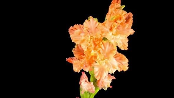 Thumbnail for Time lapse of Opening Orange Gladiolus Flower