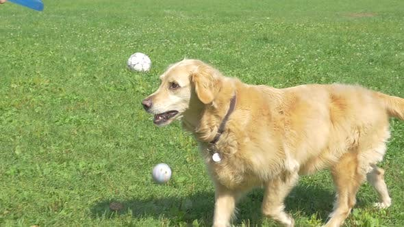 Cover Image for Golden Retriever Dog Fetching And Dropping Ball For Frisbee