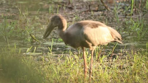 Goa, India. Close Asian Openbill Bird Or Asian Openbill Stork